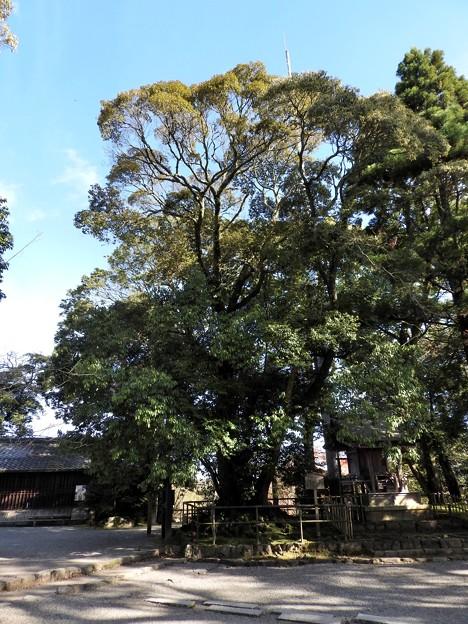 石山寺74 若宮横の樹2