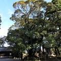 写真: 石山寺74 若宮横の樹2