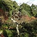 写真: 石山寺104 東風の苑の龍梅