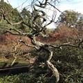 写真: 石山寺105 東風の苑の龍梅