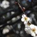 写真: 梅の精1