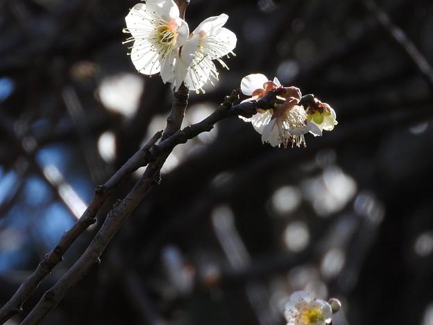 写真: 梅の精3