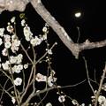 写真: 梅月夜 3