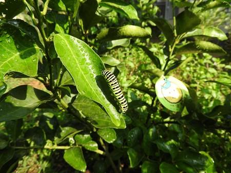 キアゲハの幼虫1