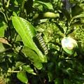 写真: キアゲハの幼虫1
