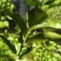 写真: キアゲハの幼虫1 オーブ2