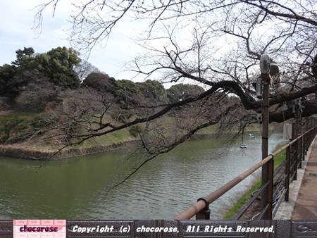 まだまだ蕾の千鳥ヶ淵の桜並木