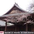 写真: 靖国神社の能舞台と桜の標本木