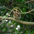 枝被りのミヤマホウジロ ♂