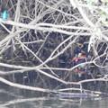 写真: カワセミとオシドリ