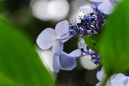 2014.07.13 瀬谷市民の森 アジサイ