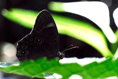 2014.07.15 瀬谷市民の森 アジサイの葉にクロヒカゲ