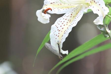 2014.07.15 瀬谷市民の森 ヤマユリ アズチグモに捕われたニホンカワトンボ