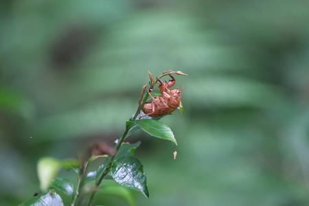 2014.08.21 瀬谷市民の森 空蝉と蟻