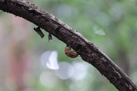 2014.08.31 追分市民の森 空蝉