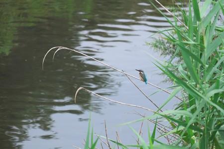 2014.09.11 和泉川 カワセミ