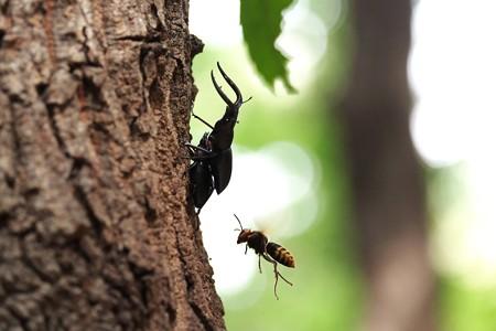 2014.09.19 瀬谷市民の森 コクワガタとアシナガバチ