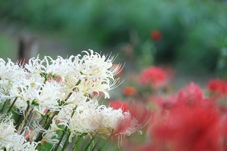 2014.09.23 和泉川 ヒガンバナ 紅白