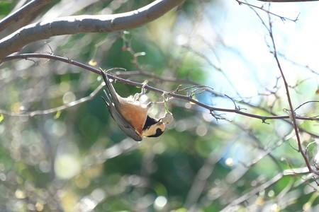 2014.10.14 和泉川 エゴノキにヤマガラ