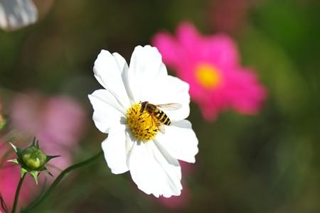 2014.10.17 追分市民の森 秋桜にクロイワオビヒラタアブ