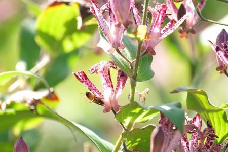 2014.10.19 和泉川 タイワンホトトギスへミツバチ
