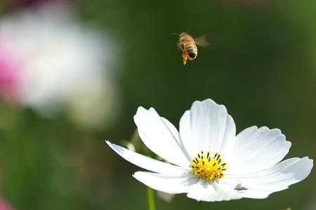 2014.10.20 追分市民の森 秋桜とミツバチ