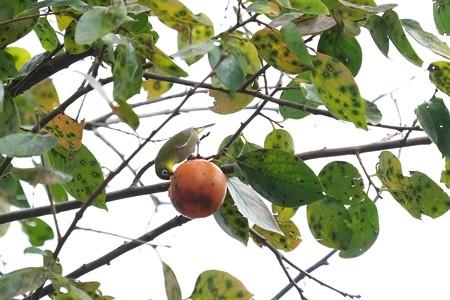 2014.10.25 和泉川 柿にメジロ