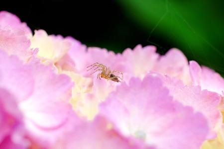 2016.06.06 追分市民の森 紫陽花に泳ぐコクサグモ