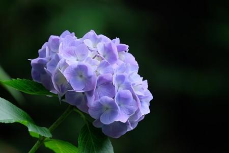 2016.06.10 瀬谷市民の森 紫陽花