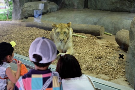 2016.07.25 Zoorasia ライオン