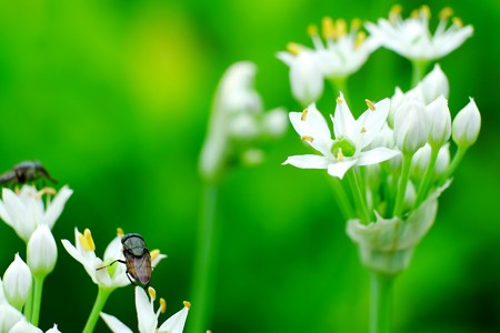 2016.08.14 追分市民の森 韮にツマグロキンバエ 隣の花