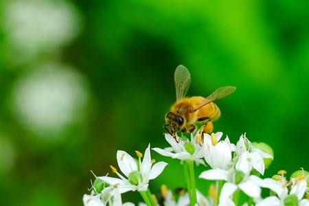 2016.08.24 追分市民の森 韮にミツバチ