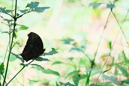 2016.10.12 瀬谷市民の森 草むらにクロコノマチョウ