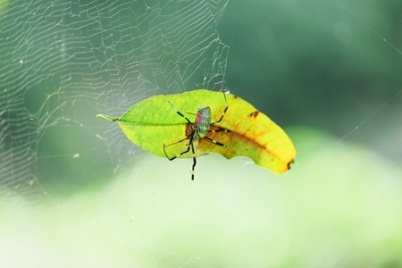 2016.10.14 追分市民の森 ジョロウグモ 落ち葉掃除