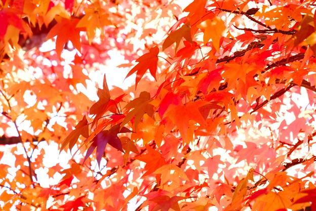 写真: 2016.11.12 赤レンガ倉庫 横浜美術館 モミジバフウ