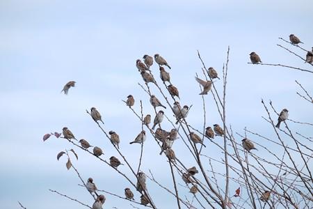 2016.11.29 追分市民の森 雀の成る木