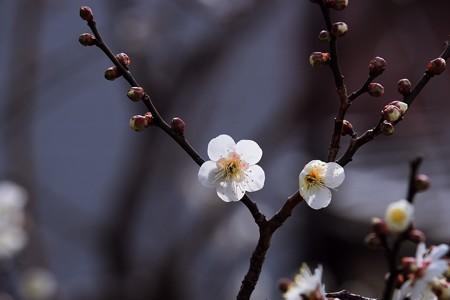 2017.01.29 和泉川 ウメ