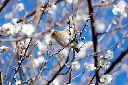 2017.02.07 和泉川 梅へメジロ 花弁散らし
