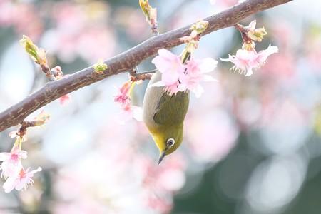 2017.03.07 和泉川 河津桜とメジロ