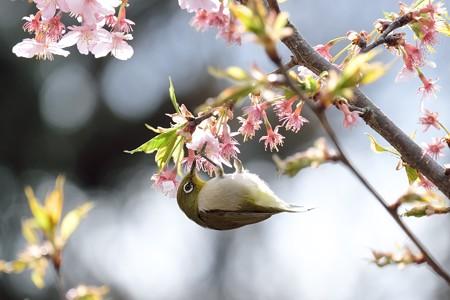 2017.03.07 和泉川 河津桜へメジロ 花下がり