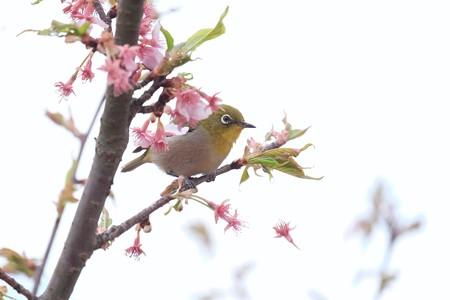 2017.03.07 和泉川 河津桜へメジロ 花落とし
