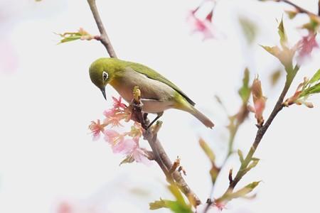 2017.03.07 和泉川 河津桜へメジロ 新緑