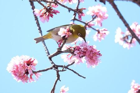 2017.03.09 和泉川 おかめ桜