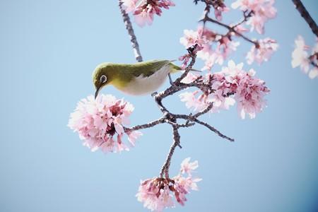 2017.03.09 和泉川 おかめ桜でメジロ
