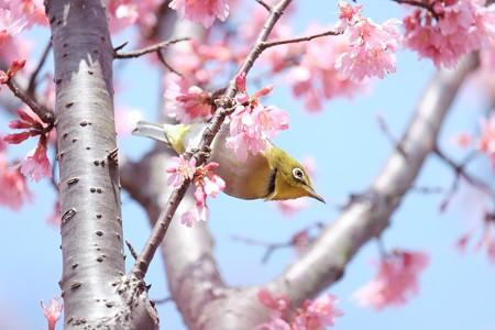 2017.03.12 和泉川 おかめ桜とメジロ