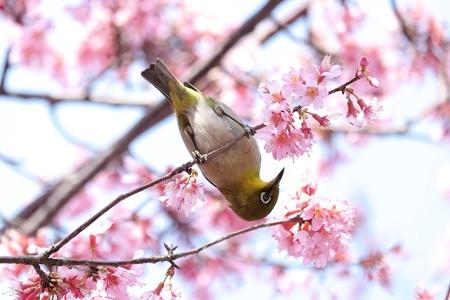 2017.03.12 和泉川 おかめ桜へメジロ
