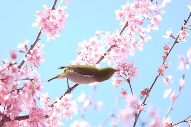2017.03.18 和泉川 おかめ桜でメジロ
