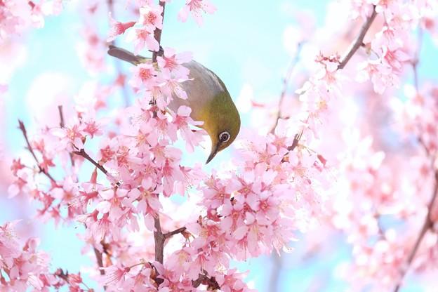 2017.03.18 和泉川 おかめ桜へメジロ