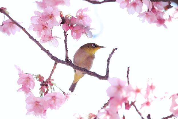 2017.03.30 和泉川 陽光桜とメジロ