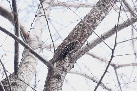 2017.04.02 追分市民の森 染井吉野にコゲラ